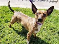 Tiger's story Tiger, is a very sweet 3-5 yr Rat Terrier