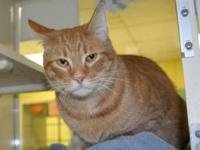 Tiger - Reno - Medium - Adult - Male - Cat My name is