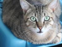 Tiger - Rosie - Medium - Adult - Female - Cat Rosie is