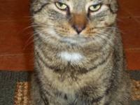 Tiger - Sweetie (young Cat) - Large - Young - Female -