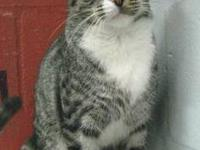 "Tiger - Wee One - Medium - Adult - Male - Cat ""We hold"