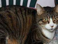Tiger - Louie - Large - Young - Male - Cat I'm Louie -