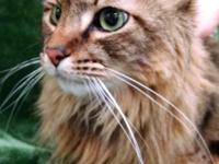 Tigger is our pretty Long Hair, Maine Coon mix, who is