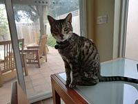 TIGGER ** PUREBRED BENGAL **'s story ** Must be Stable,