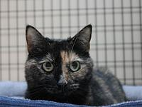 Tiggy's story Tiggy is a 3 1/2 year old declawed Torti.
