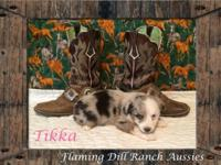 Ranch Raised ASDR Toy / Mini Aussie Puppies Tikka ~