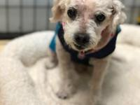 Tilly is a darling poodle mix who is excited for her