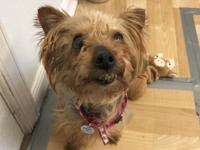This is Tilly! Tilly is an 8 year old Yorkie who was