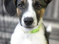 Timber's story Timber is a male Collie/Heeler mix born