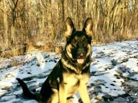 Timber is a GSD pup that has good energy...needs an