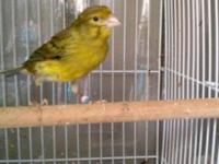 2 SPANISH TIMBRADO MALES ABOUT 1 YEAR OLD , GREEN COLOR