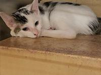 TIMMY (DSH MANX MIX)'s story My name is Timmy and I was