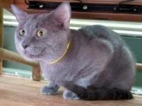 Timmy is a Russian blue mix who is filled to the brim