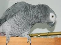 Very sweet, loving African Grey. He will let anyone