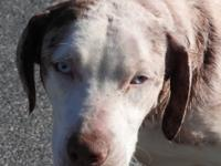 Tina is a medium sized female Catahoula mix, red merle