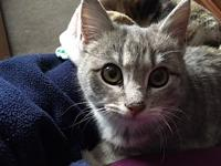 Tina's story Tina 6 months old Female DSH, Grey Tabby