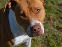 Tina is a 2 year old, 43 pound, bully mix. Tina is a