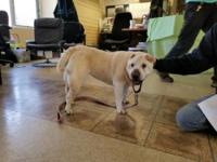 Tina is a light fawn (blonde?) female shar pei. She is