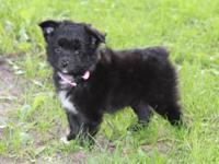 9 week old tiny black-bi female. At 9 weeks of age,