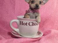 Extremely Tiny Chihuahua Puppy!! Female, estimated to