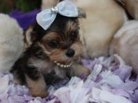 Yorkie tiny puppy. 3 lbs. at full growth. He is sweet,