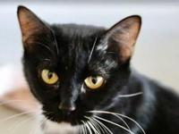 Introducing Tinker! This lovable tuxedo kitty loves to