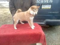 Champion Sired Shiba Inu Puppys, 2 red males Beautiful