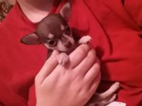 Very small 8 week old applehead Chihuahua. Born on May
