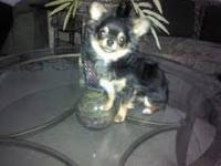 Squeedo is 1 yr old, black/tan, 4 lb, purbred male