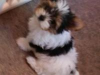 Snickers, tiny adorable baby doll yorkie with a big