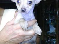 Tiny, Very small male Chihuahua puppy Blonde with small