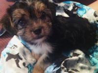 I have a sweet adorable MORKIE little fuzzball in need