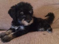 Maltese x Yorkie. 8 weeks old. Hypoallergenic. Very
