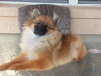 I have one Tiny (Male) Orange Sable Pomeranian puppy