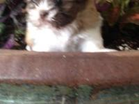 2 TOY SHIH TZU puppies - females only. do not email