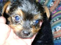 Hi i have 4 adorable Yorkie puppies 1 female and 3