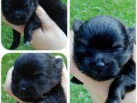Zann, my tiny black & tan male was born on June 13th,