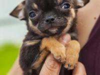Tiny Chihuahua puppy for sale. He is AKC registered and
