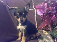 AKC Chihuahua boys, adorable and friendly for sale.