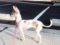 Bella is a 8 month old fawn and white female Chihuahua.