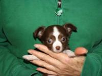 Tiny AKC female longcoat Chihuahua puppy. Chocolate