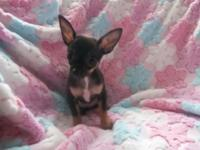 Tiny AKC female Chihuahua young puppy. $550.00. Born
