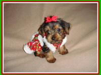 Pick of the litter tiny Female Yorkie Puppy. Her dad is