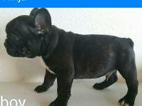 I have FULL AKC French Bulldog puppies they are 8 weeks