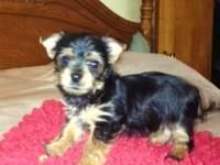 I have 1 little cute AKC male yorkie offered, with nice
