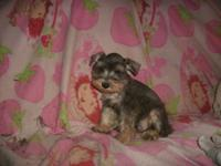 AKC Miniature Schnauzer puppies, they can go to there