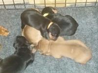 Adorable AKC Miniature Pinscher puppies born