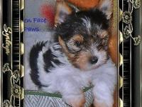Full AKC Registration Tiny Yorkie, Full Parti Yorkshire
