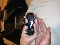 I have one tiny black w/ white AKC reg. female