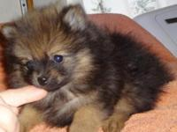 Tiny Pom. was simply at the Veterinarian and evaluated